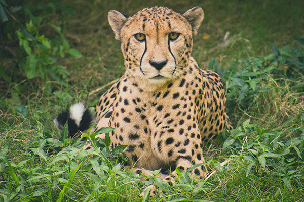 cheetah-laying-in-grass.jpg