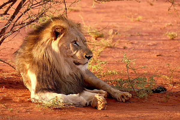 lion-leaning-against-tree.jpg
