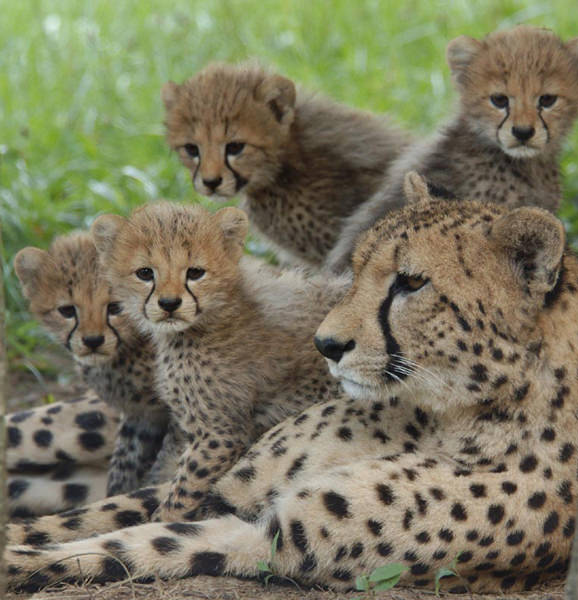 Cheetah resting with her cubs