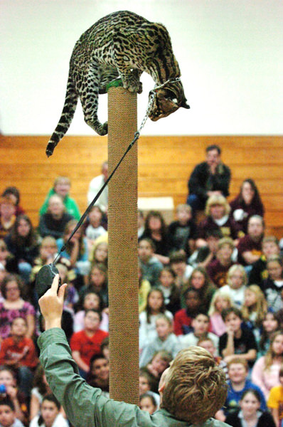 Trainer asks an ocelot to show off its climbing skills