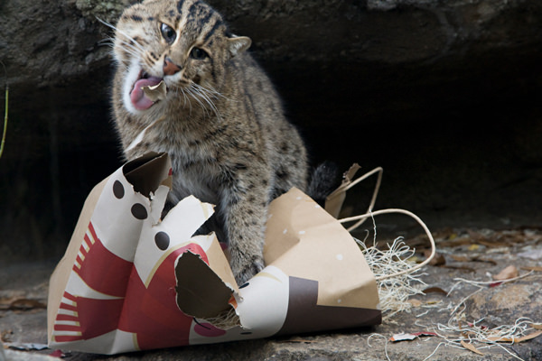 Fishing cat tearing a paper bag